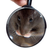 Magnifying glass and rat Stock Images