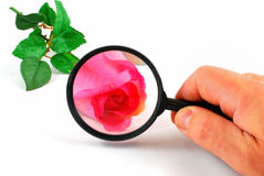 Magnifying glass and rose Royalty Free Stock Photo