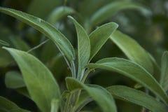 Amazing detail of sage leaf royalty free stock photo