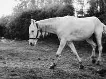 Magnigicient-Pferd stockbilder