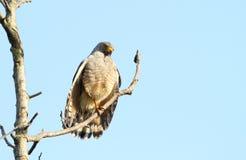 Magnirostris di Hawk Rupornis del bordo della strada Fotografia Stock Libera da Diritti
