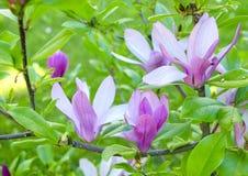 A magnólia cor-de-rosa bonita delicada brilhante floresce em um ramo de uma árvore de florescência Florescência da mola Fotos de Stock Royalty Free