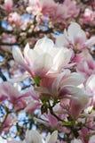 Magnolia-árbol Fotos de archivo