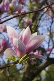 Magnolia Ã- Soulangeana del árbol floreciente Foto de archivo