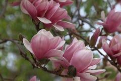 Magnolia × soulangeana (saucer magnolia) Stock Images