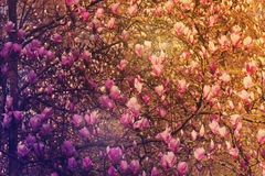 Magnolia άνθισης, αναδρομικός που τονίζεται Στοκ Εικόνες