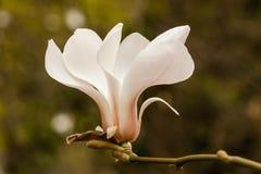 Magnolia άνοιξη Στοκ Εικόνες