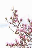 magnolia ανθίσματος σχεδίου ανασκόπησής σας Στοκ Εικόνες