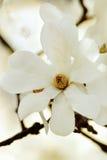 magnolia ανθών Στοκ Φωτογραφίες