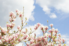 Magnolia και μπλε ουρανός Στοκ φωτογραφία με δικαίωμα ελεύθερης χρήσης