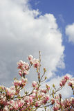 Magnolia και φρέσκος μπλε νεφελώδης ουρανός άνοιξη Στοκ Εικόνες