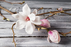 Magnolia λουλουδιών στον ξύλινο πίνακα Stellata Magnolia 1 ζωή ακόμα Στοκ φωτογραφία με δικαίωμα ελεύθερης χρήσης