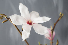 Magnolia λουλουδιών στο βάζο γυαλιού Stellata Magnolia 1 ζωή ακόμα Στοκ Φωτογραφίες