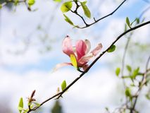 Magnolia στον ηλιόλουστο μπλε ουρανό στοκ φωτογραφίες