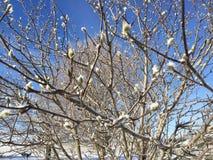 Magnolia το χειμώνα Στοκ Εικόνα