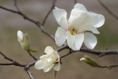 Белая магнолия Цветки и бутоны весны Зацветая сад стоковая фотография rf
