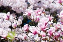 magnolia цветений Стоковые Изображения