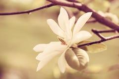 magnolia цветения Стоковые Фотографии RF