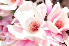 magnolia цветка Стоковая Фотография