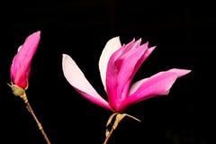 magnolia цветка Стоковое фото RF