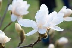 magnolia цветка Стоковая Фотография RF