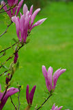 Magnolia 08 Royalty Free Stock Images
