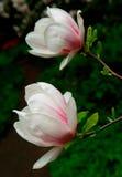 Magnolia-1 Stock Afbeeldingen
