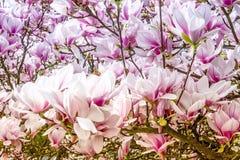 Magnolia Στοκ Φωτογραφίες