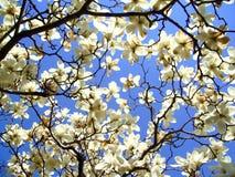 Magnolia Arkivfoto