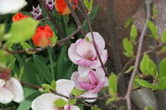 Magnolia Arkivfoton