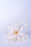 Magnolia. Stellata blossom in soft pink and white hues royalty free stock image
