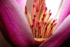 Magnolia Royalty Free Stock Image