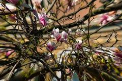Magnolia stock fotografie