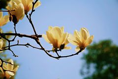 magnolia Foto de Stock Royalty Free