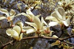 Magnolia Stock Images