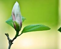 Magnolia Photos libres de droits