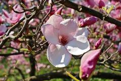 magnolia Стоковые Фото