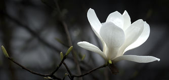 Magnolia Photographie stock