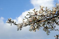 Magnolia Royalty Free Stock Photos