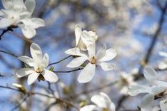 magnolia Стоковое Изображение RF
