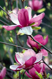 Magnolia. Open magnolia flowers in the spring time Stock Photo