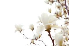 Magnolia imagen de archivo