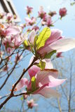 Magnolia. In Tsinghua Univ in spring Royalty Free Stock Photo