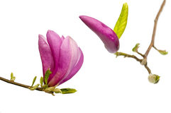 Magnolia. Royalty Free Stock Photos