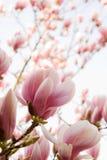 Magnolia stock foto's