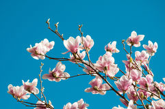 Magnolia Stock Photos