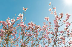 Magnolia Stock Image