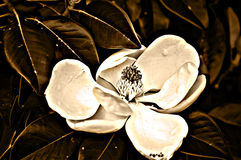 Magnolia. The Louisiana State Flower in intense sepia color Royalty Free Stock Photography