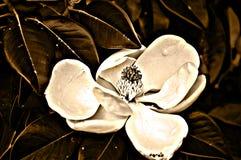 magnolia Стоковая Фотография RF