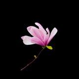 Magnolia Royalty Free Stock Photos